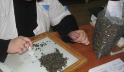 Опасные семена сорняков обнаружили в кукурузе и подсолнечнике на элеваторе Ставрополья