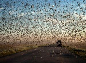 Дополнительные 22 миллиона рублей выделили на борьбу с нашествием саранчи в Ставропольском крае