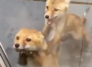 «Нашествие лис»: зоолог объяснил, стоит ли бояться частого появления животных «на людях»