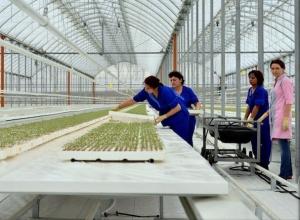 Новый тепличный комплекс на шаг приблизил Ставрополье к первенству по выращиванию овощей в стране