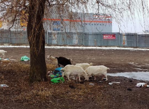 Козы паслись возле свалки в Пятигорске
