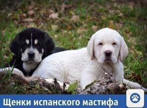 Частные объявления: Продаются щенки испанского мастифа