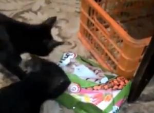 «Кот-наркоман  - горе в семье»: ставропольцы сняли курьезное видео с домашними питомцами