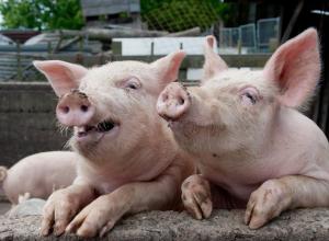 Свинину из Крыма не пустят на Ставрополье из-за африканской чумы
