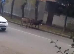 Два ослика гуляли по дорогам и попали на видео в Кисловодске