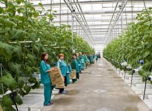 120 гектаров новых теплиц будут увеличивать объем продукции на Ставрополье