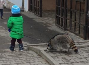 Девочка выгуливала на поводке огромного енота в Ставрополе