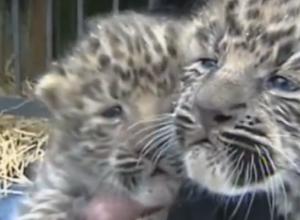 Два краснокнижных детеныша леопардов родились в передвижном зоопарке в Кисловодске