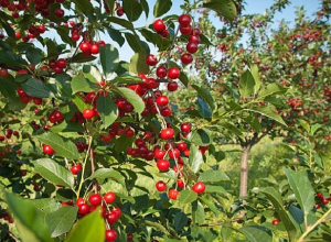 Урожайность вишни и других ягод увеличилась на 12 процентов в Ставропольском крае