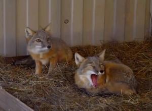 Экскурсия в ставропольский зоопарк: рысь и голубых баранов привезли на радость детям