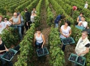 Меры господдержки позволили Ставрополью в прошлом году стать вторым по собранному урожаю винограда в стране