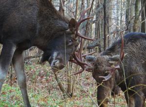«Залетные» лоси появились в лесу на Ставрополье