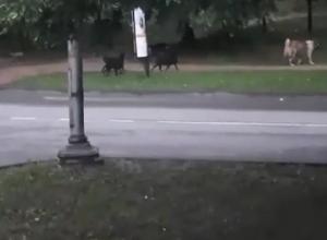 Озверевшая стая собак, терроризирующая жителей Кисловодска, попала на видео