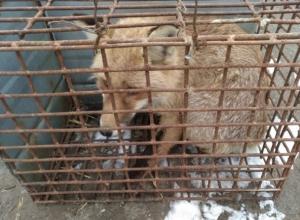 Случайно забегающих во двор диких лис продает предприимчивый житель Ставрополья за три тысячи рублей