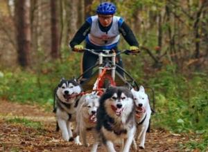 Хаски и овчарок запрягали в велосипед на соревновании ездовых собак в Ставрополе