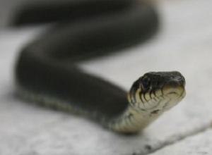 «Змеи лезут в дом»: специалист прокомментировала обстановку со змеями в Ставропольском крае