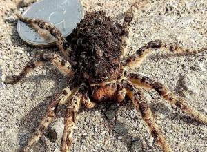 Жуткий тарантул огромных размеров напугал жителей Ставрополя