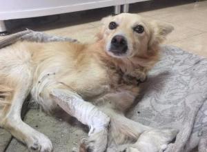 Несколько дней пролежал умирающий пес на придорожной заправке на Ставрополье