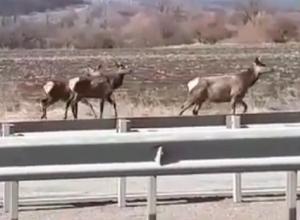 Три оленя пытались перейти дорогу и попали на видео под Ессентуками