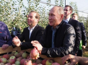 Небывалый урожай яблок собрали садоводы Ставрополья