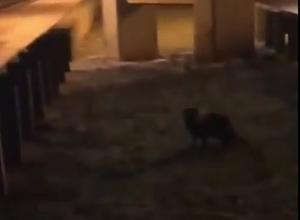 Прогулка любопытного енота возле «Ленты» попала на видео под Ставрополем