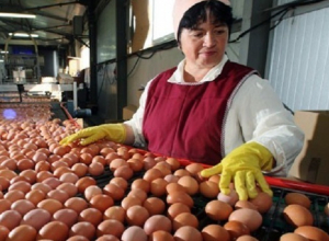Куриными яйцами завалить Ставрополье собирается сельская птицефабрика