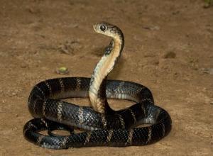 Целый выводок ядовитых змей обнаружили в жилом доме на Ставрополье