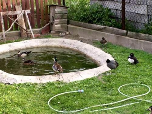Как держать гусей в домашних условиях если нет водоема