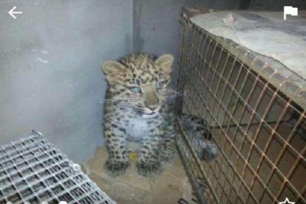 Объявления о продаже детёнышей леопардов в Пятигорске смутили жителей города
