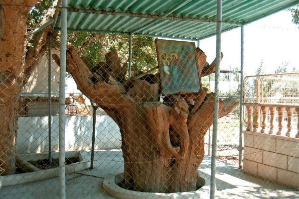 ВСтаврополь 15октября доставят один изчетырёх отростков дерева Закхея
