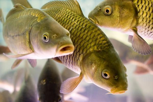 200 килограммов рыбы выкрали из ставропольского водоема для продажи конкурентам