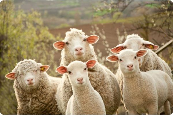 Два парня украли овец на миллион в Ставропольском крае