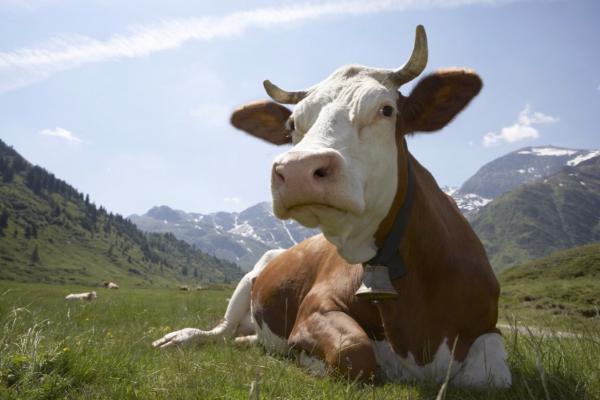 Власти Ставрополья направят наподдержку молочного животноводства больше 114 млн руб.