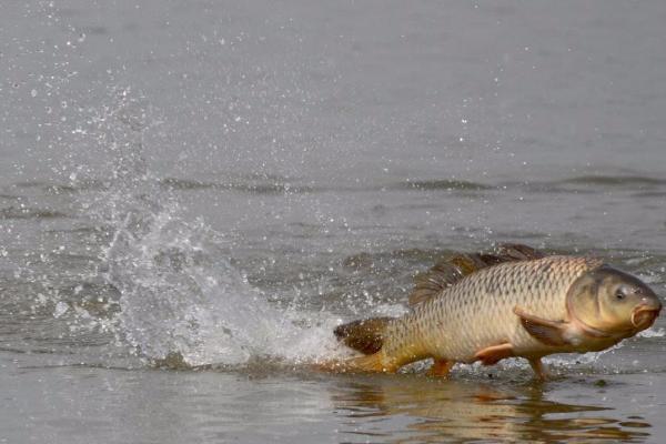ВКомсомольском озере вСтаврополе появятся толстолобики иамуры