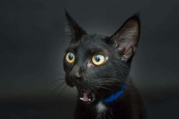 Google разыскивает котов, которые «сыграют» булгаковского Бегемота