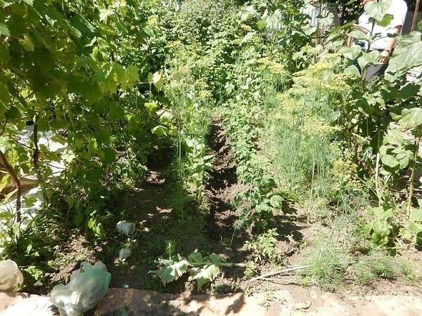 ВСаратове полицейские скосили 20 квадратных метров конопли