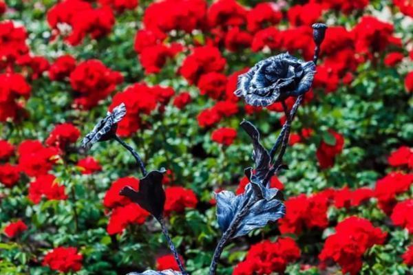 Донецкие розы привезли вКисловодск из-за войны