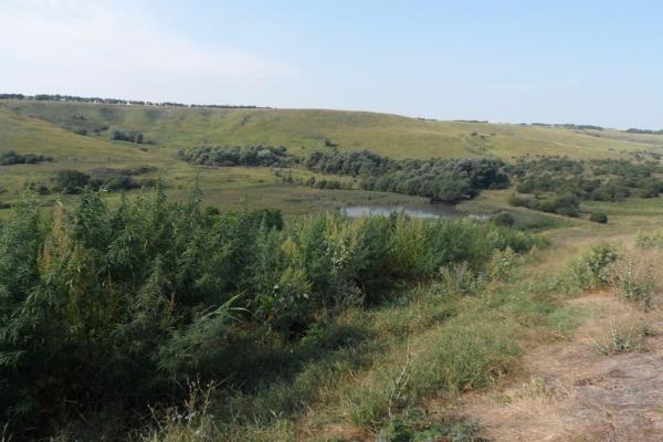 НаСтаврополье уничтожили 1700 кустов конопли