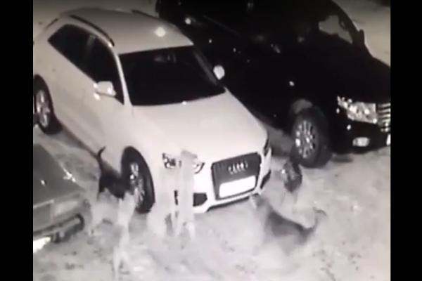 Окружившая автомобиль стая бродячих собак в Железноводске попала на видео