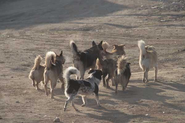 В Кисловодске на девушку напала стая бродячих собак