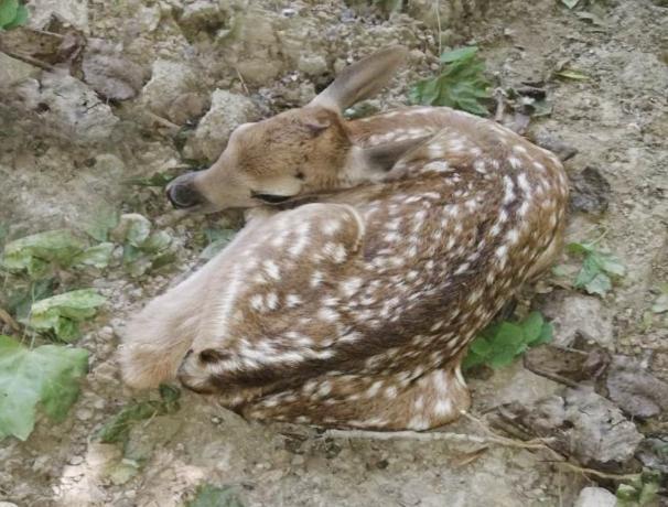 В невинномысском парке у европейской лани родился малыш