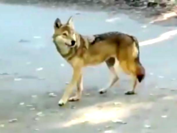 Ставропольчанин снял на видео разгуливающего по городу волка