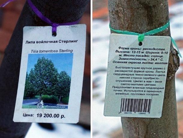 Цена на саженцы липы почти в 20 тысяч рублей озадачила ставропольцев