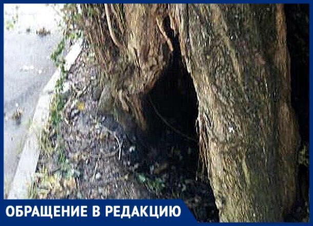 «Это дерево может обвалиться в любой момент», - житель Ставрополья о сухостое в Михайловске