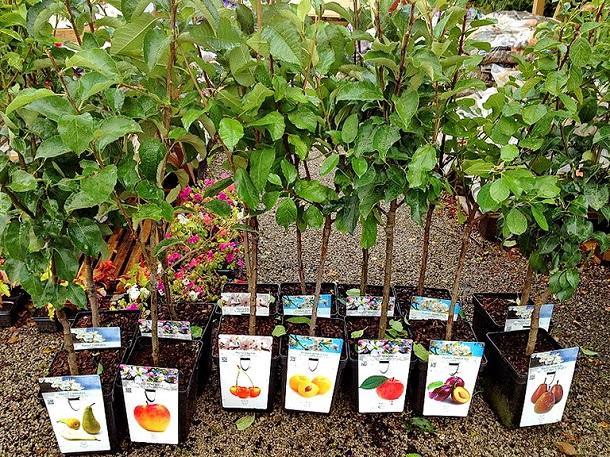Инновации вяблоки. НаСтаврополье занялись оздоровлением садов