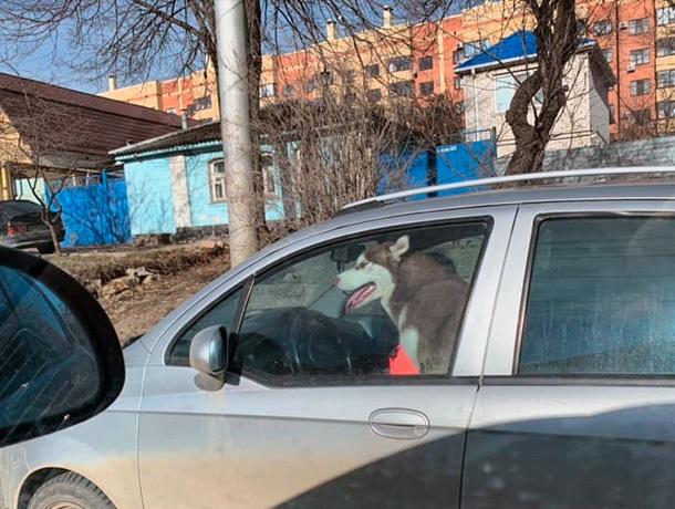 «Хаски в Ставрополе не просто убегают из дома, но и угоняют автомобиль», - ставропольцы