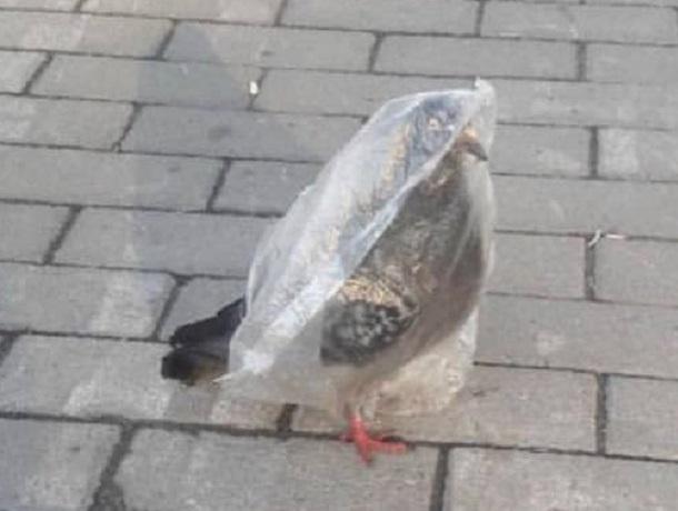 «Продам голубя, новый, не распаковывался», - неординарное объявление «наделало шума» в Ставрополе