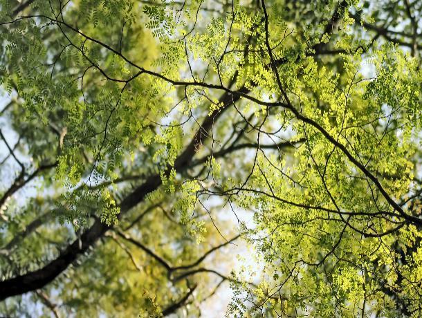 Осенью в Ставрополе появится 2,5 тысячи новых деревьев