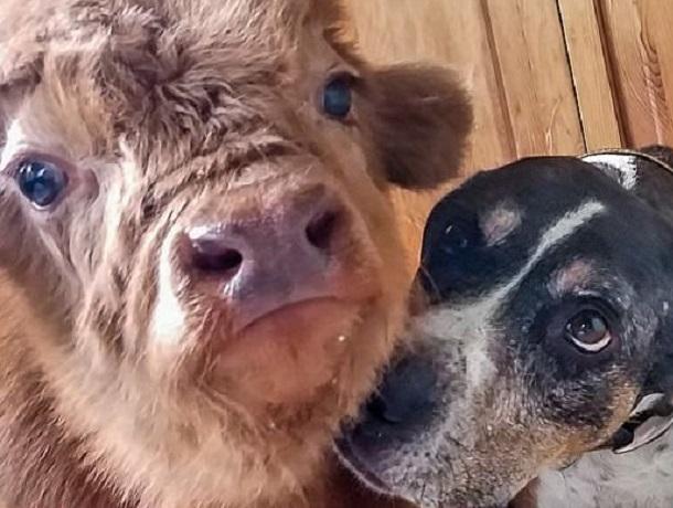На Ставрополье воровка проникла в чужой двор, чтобы украсть бычка, но его спасла собака