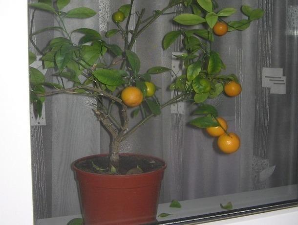 Дерзкие подростки обесточили дом ради кражи мандаринового дерева на Ставрополье